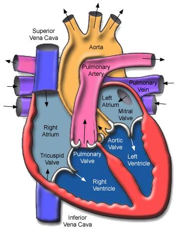Cardia Ischemia Reperfusion Injury