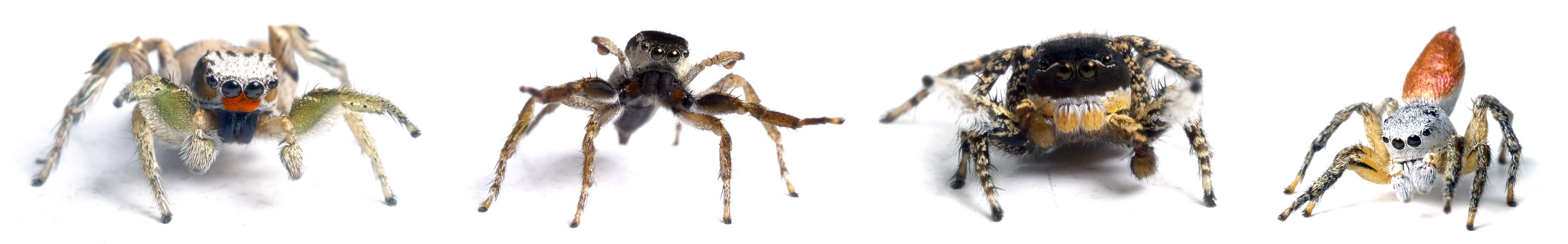 Four species of Habronattus jumping spiders