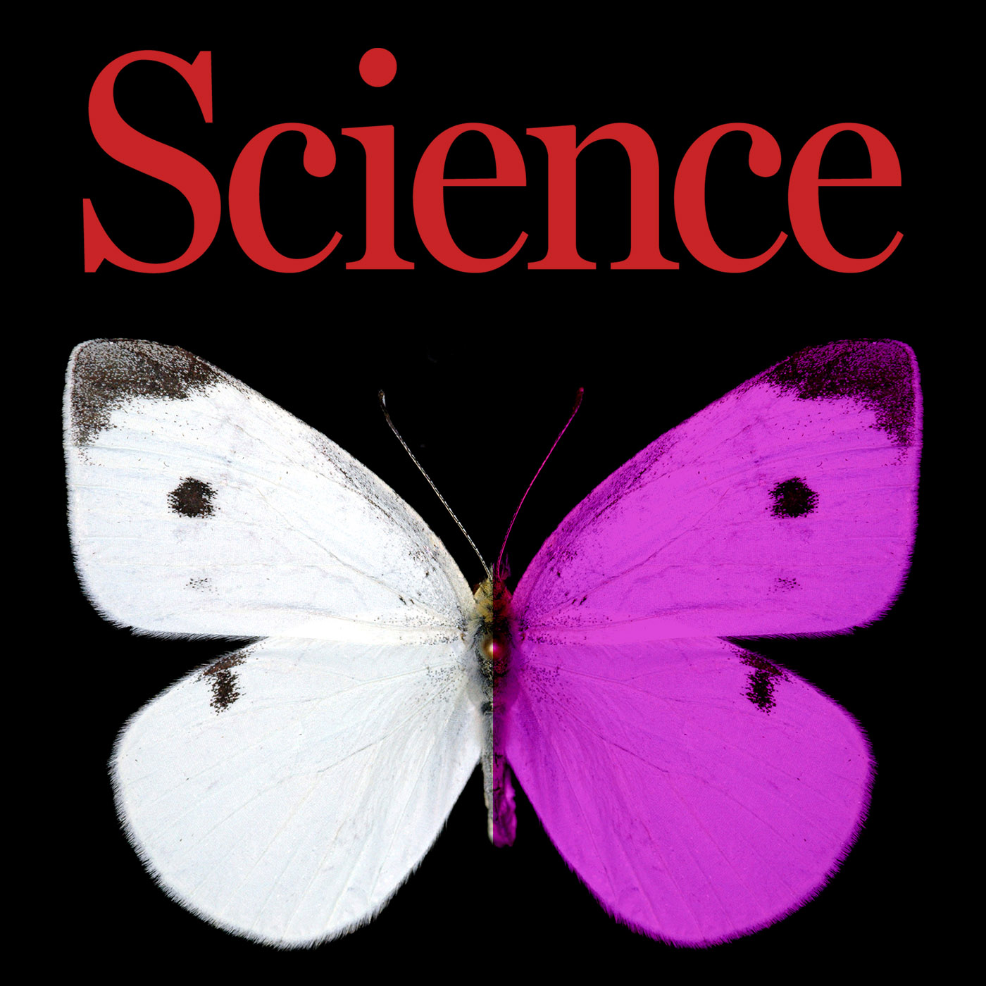 Science Shot coverage of research on Pieris rapae coloration