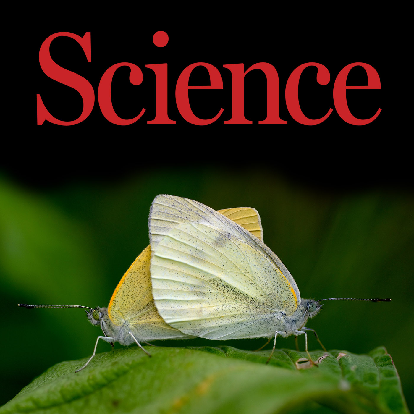 Science Magazine coverage of research on Pieris rapae in 2017