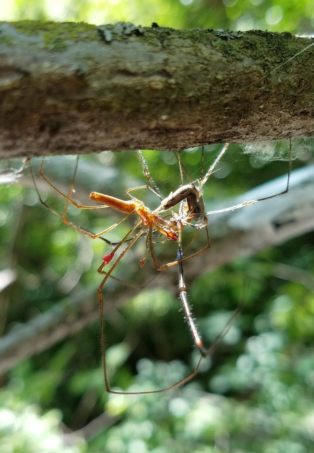 Tetragnatha spiders mating