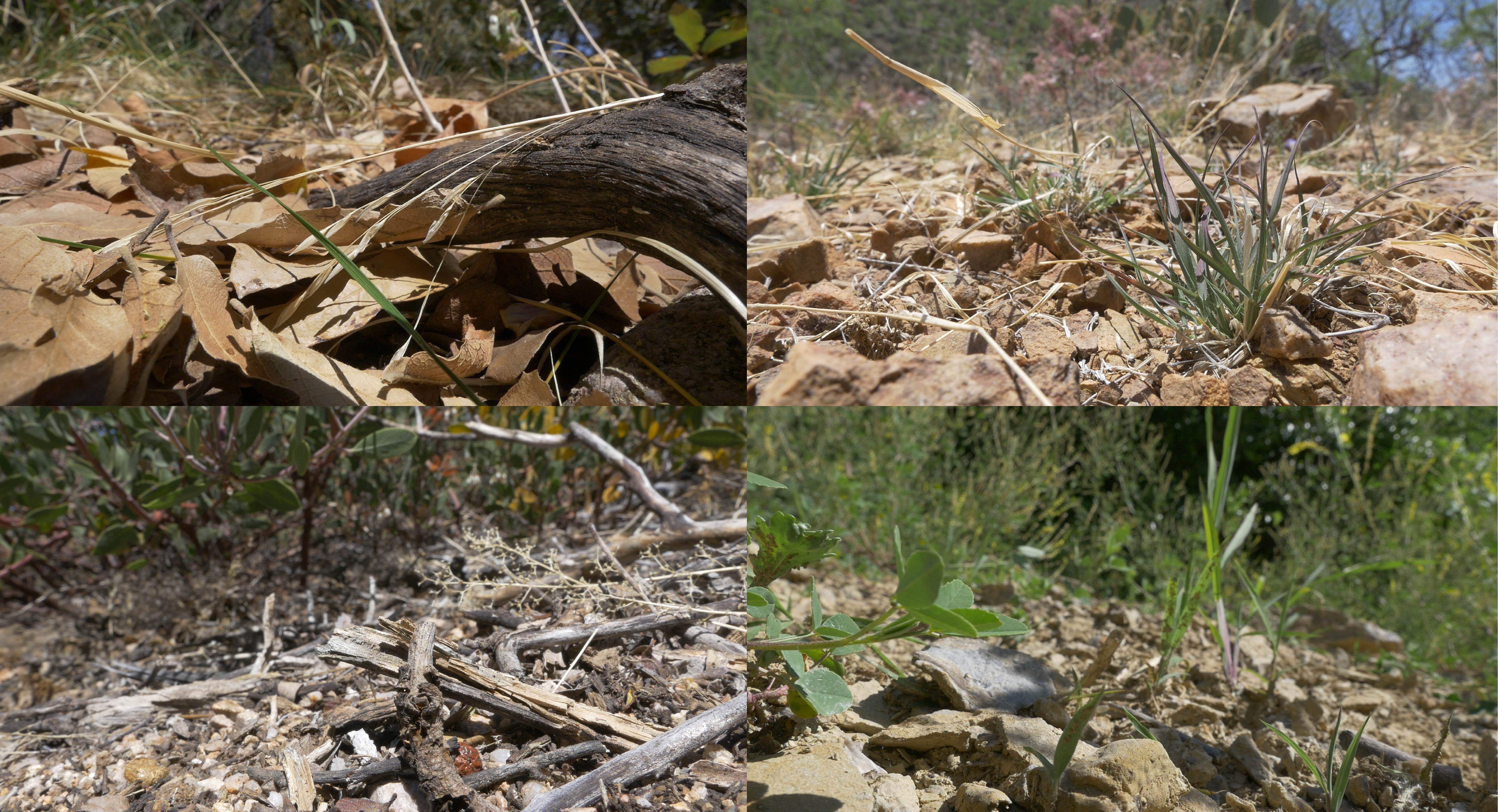 Collage of Habronattus spider habitats
