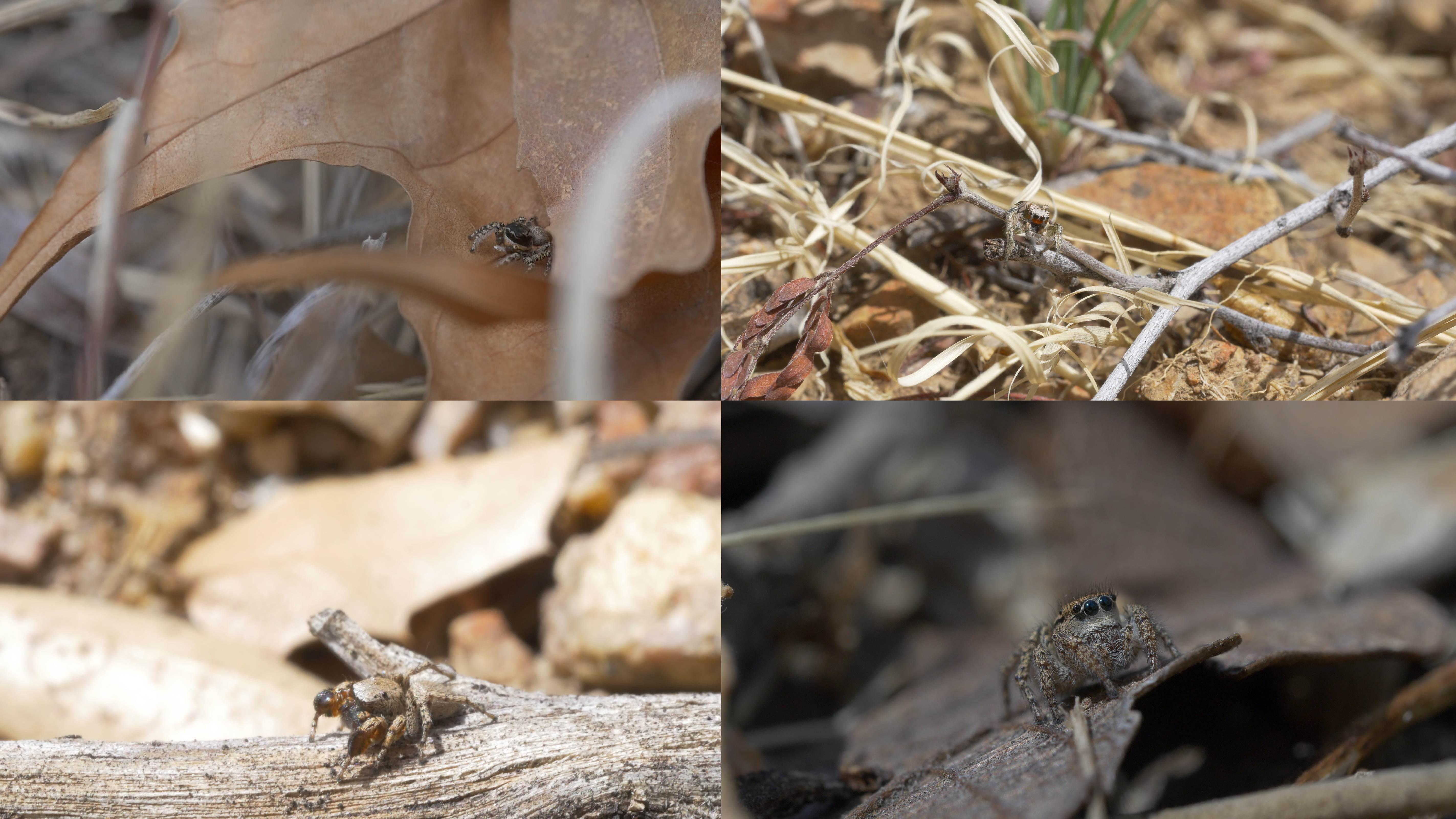 Collage of Habronattus spiders in their habitats